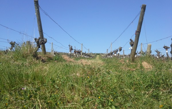 Surgreffage aux Bruandières et ravages de l'Esca