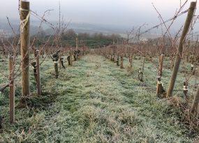 Les vignes en hiver